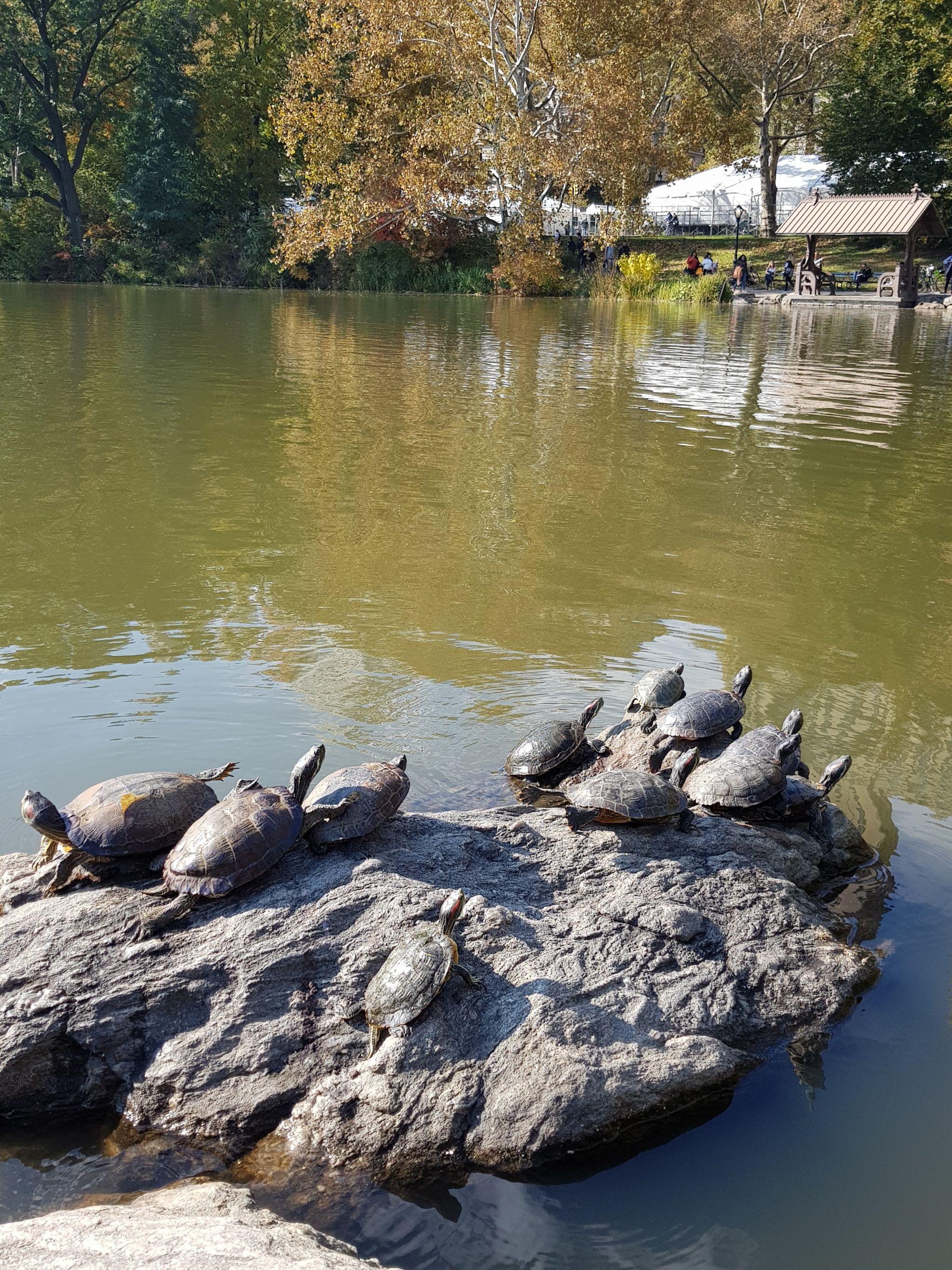 Central Park, turtles